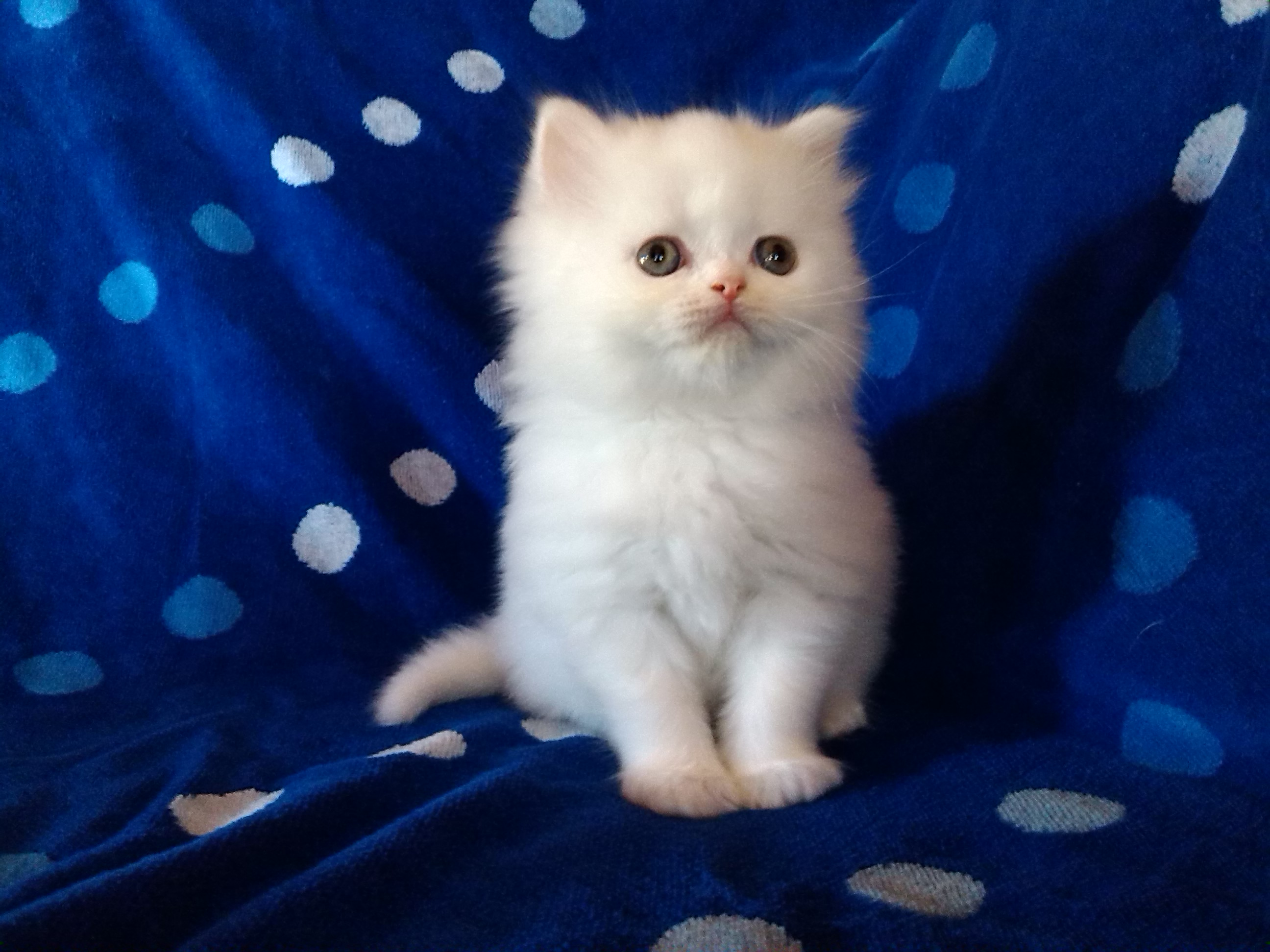 A sweet expression promises the easygoing personality which the Persian is known for. They communicate delightfully with their large expressive eyes and make charming pets for all age groups.