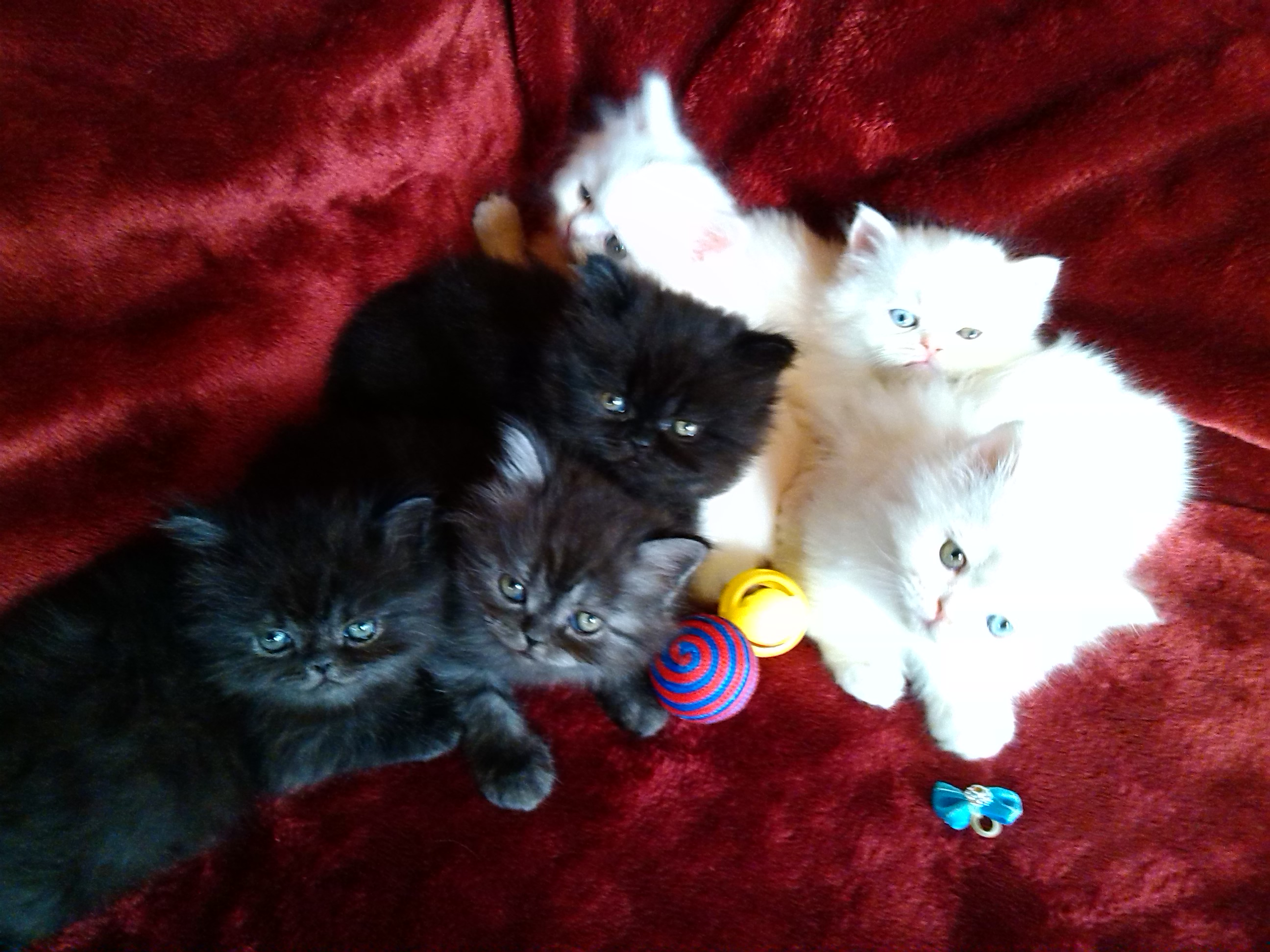 We are a responsible and reputable breeder of Persian and Himalayan cats located in the Missouri Ozarks.